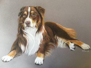Schoko - Australian Shepherd aus Österreich